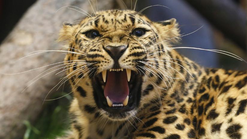 VIDEO: La milagrosa huida de una cigüeña de las garras de un leopardo hambriento