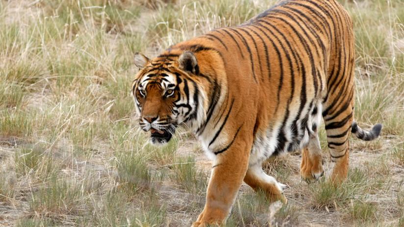 China: Muere atacado por animales un cuidador de un zoo donde se vende 'vino de tigres'