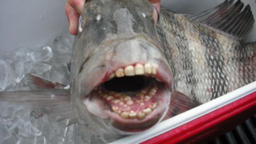 FOTO: Capturan en EE.UU. a un pez con dientes humanos y este 'se presenta' a los internautas