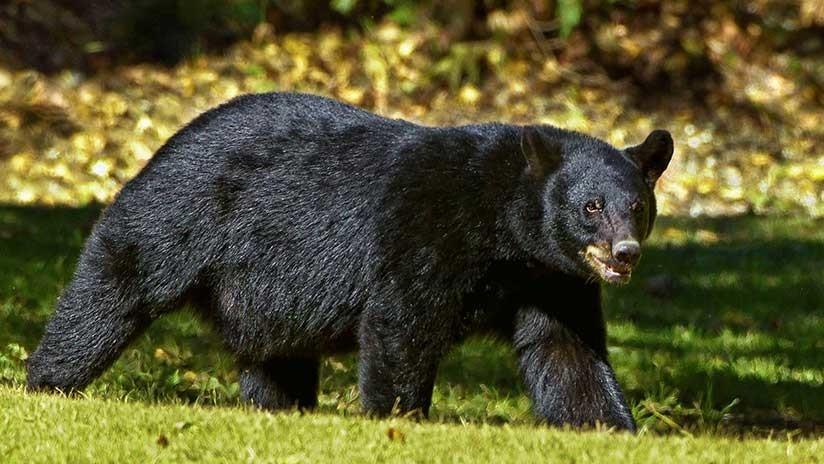 EE.UU.: Un oso negro atrapa a una niña de cinco años pero los gritos de su madre la salvan