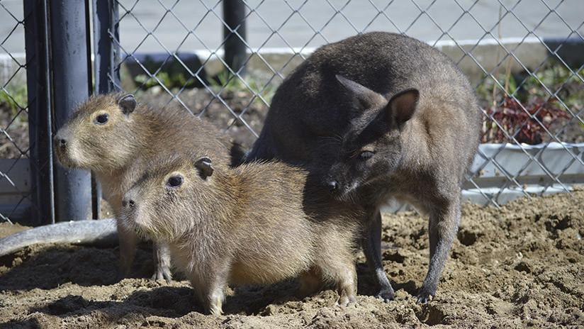 Un canguro toma bajo su tutela a dos carpinchos en un zoo ruso y el trío se vuelve inseparable