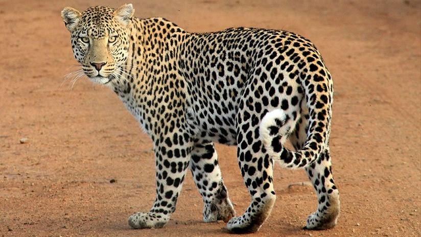 Un turista graba cómo un leopardo jueguetea con su pierna durante un safari