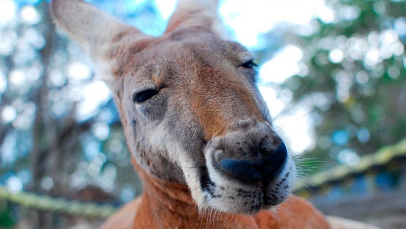 FUERTES IMÁGENES: Un flechazo atraviesa a una canguro y deja atrapado en la marsupia a su cachorro