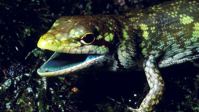 Revelan el secreto genético de los lagartos de sangre verde y tóxica