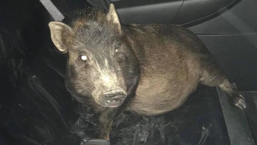 """""""No sé qué hacer"""": Un hombre llama a la Policía porque un cerdo lo persigue"""