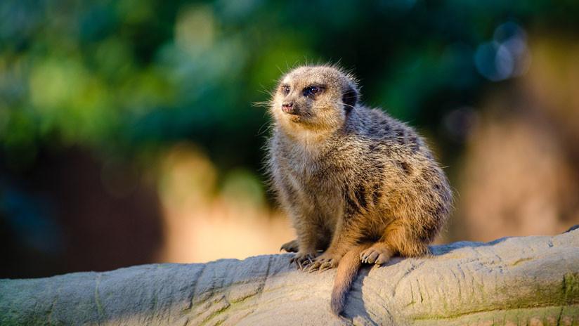 Hungría: Un escolar mata a una suricata embarazada en un zoo y es amenazado de muerte