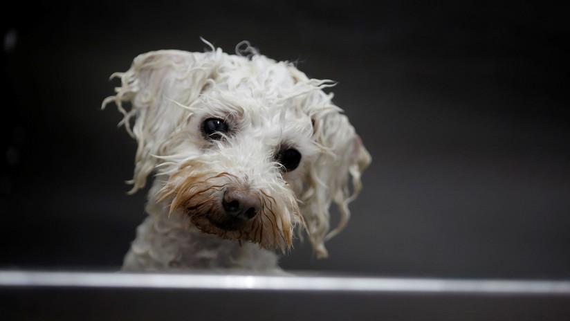 Un italiano lega un total de un millón de euros a su perro, que lo salvó de un paro cardíaco