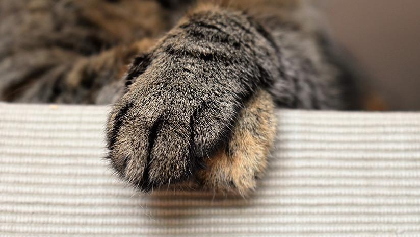 'Me quedan seis': Un gato es atravesado por una flecha y sobrevive (FOTO)