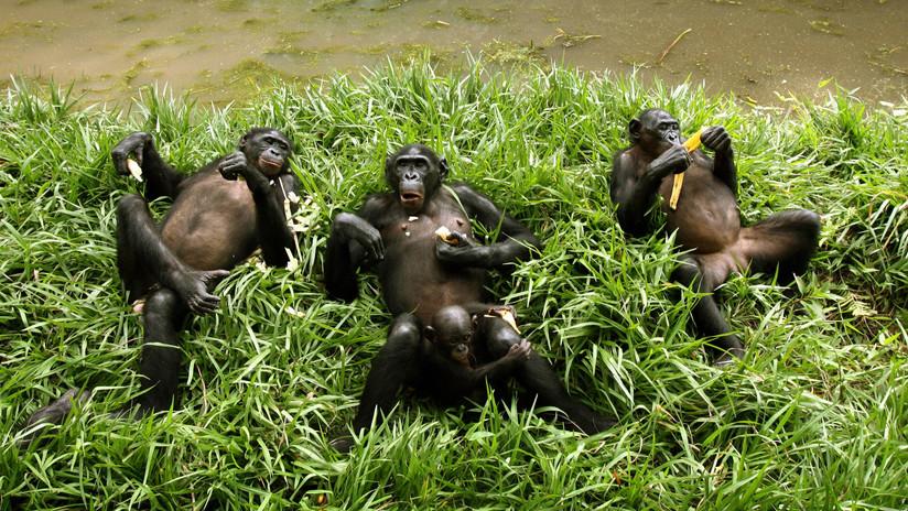 Los chimpancés también tienen comadronas: Filman a varias hembras 'asistiendo' en el parto (VIDEO)