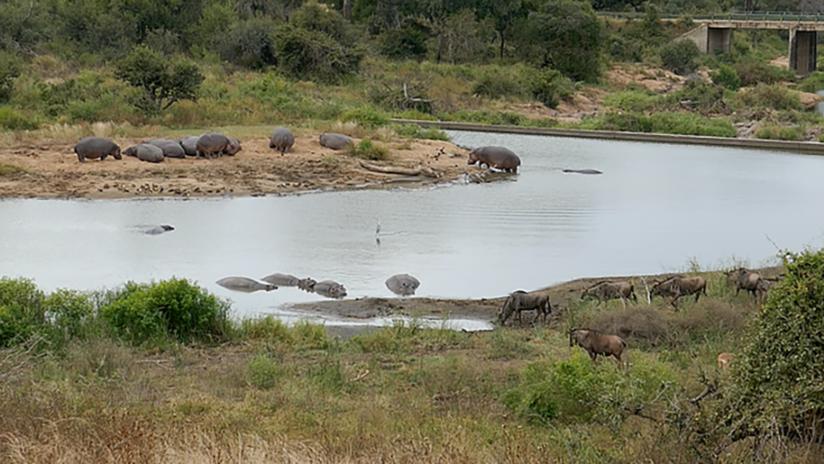 VIDEO: Cocodrilos captan a un ñu pero un grupo de hipopótamos lanza una 'operación de rescate'