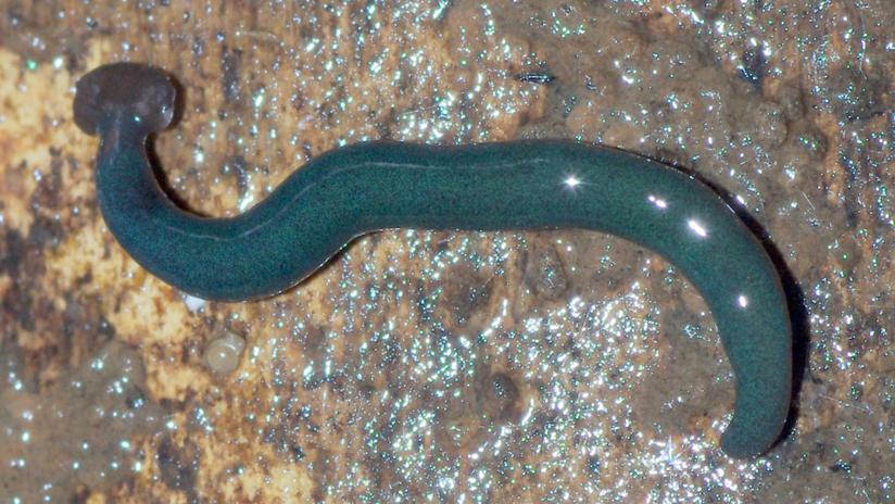 FOTOS: Estos enormes gusanos depredadores procedentes de Asia invaden Francia