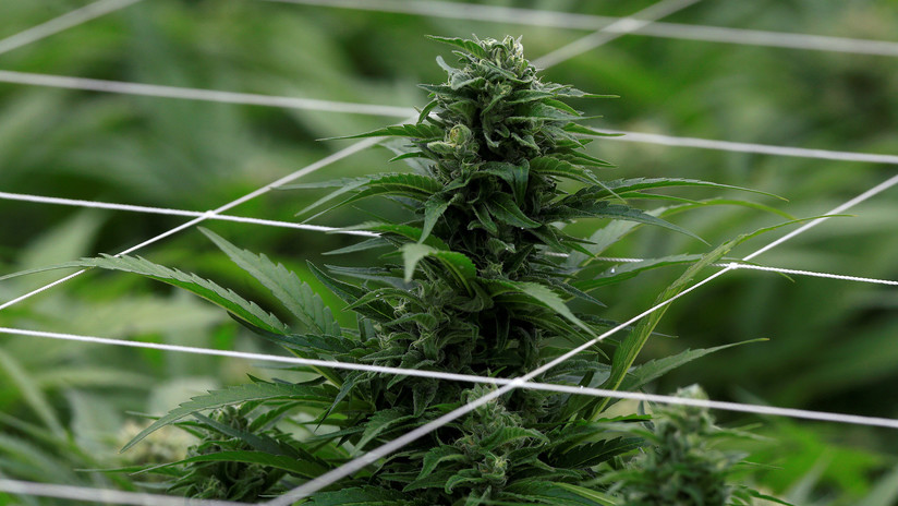 VIDEO: Huye con una planta de marihuana en las manos tras ser grabado en directo por casualidad