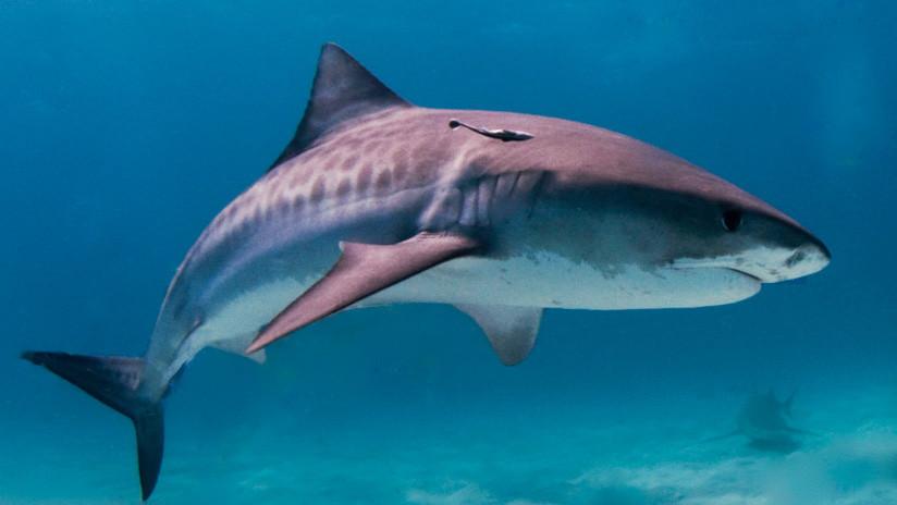 FUERTES IMÁGENES: Saca un botín espeluznante del estómago de un tiburón