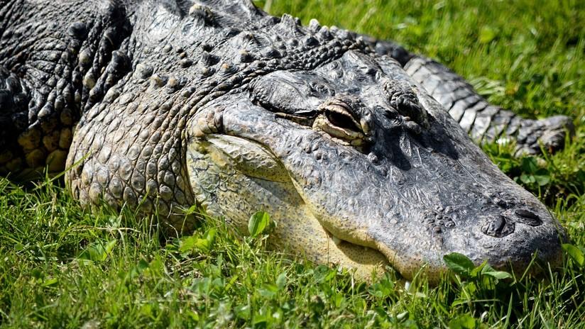 VIDEO: Capturan junto a una escuela de Florida a una caimán preñada
