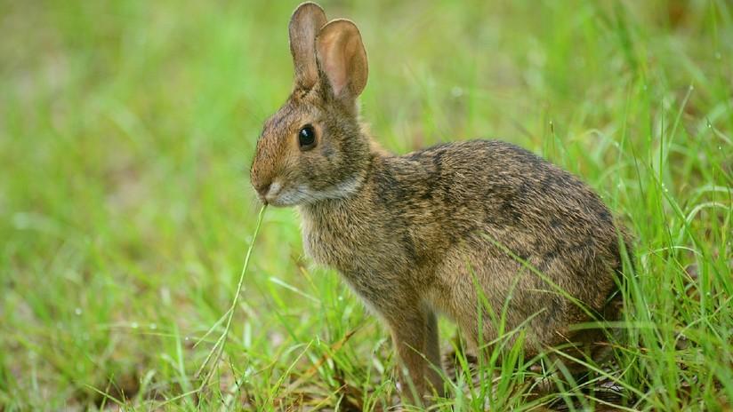 Mala suerte: Un conejo escapa de las fauces de un gato pero es cazado por un búho (VIDEO)