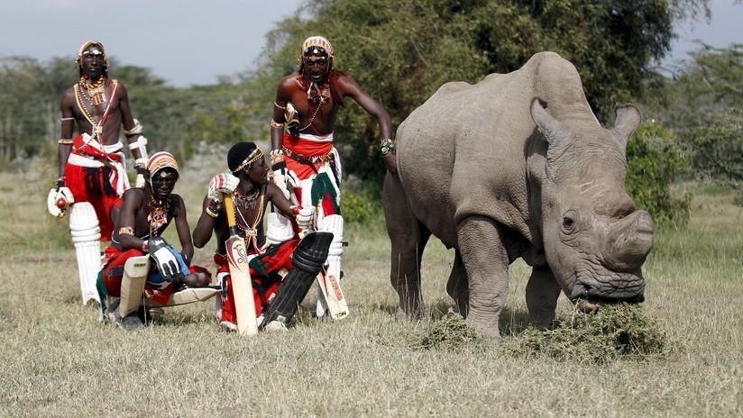 Explican cómo podrían recuperar al casi extinto rinoceronte blanco, aunque solo hay dos hembras