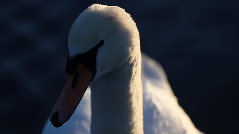 VIDEO: Un cisne intenta desesperadamente rescatar a su amigo enterrado en cieno