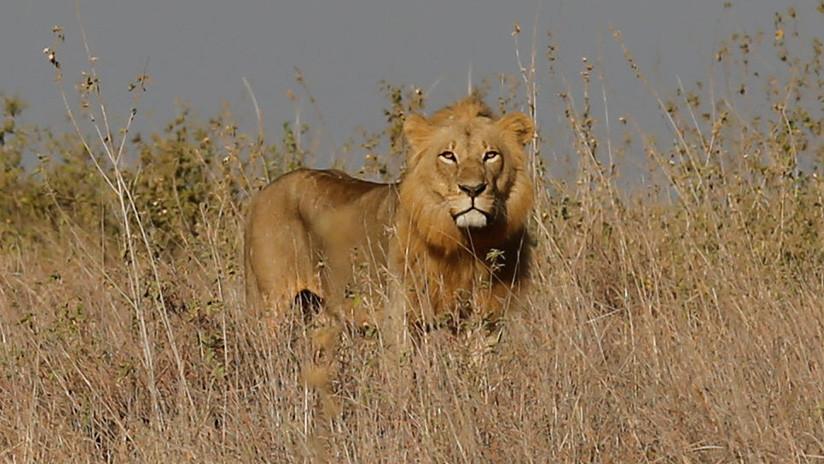 Visitantes no deseados: filman una feroz pelea entre leones por su territorio