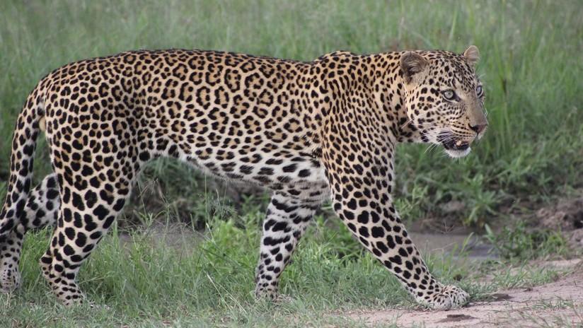 VIDEO: Dos leopardos se enfrentan en una furiosa y fulminante pelea