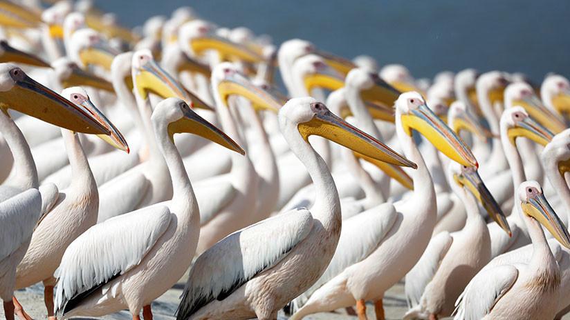 Encuentran una nota escrita hace casi 200 años en un pelicano disecado de un museo (FOTO)