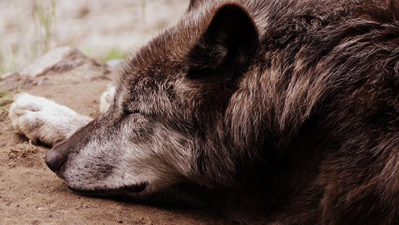 Foto: Un ranchero de Montana mata a un misterioso animal parecido a un lobo