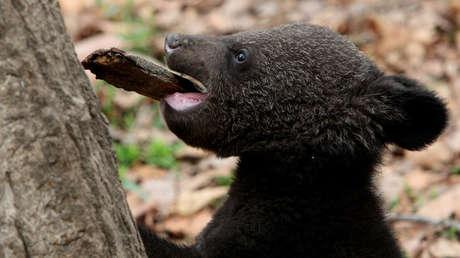 Una cría de oso negro asiático.