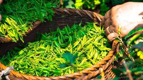 Colecta de la hojas de té en una plantación