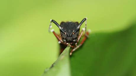 Vista frontal de una hormiga carpintera mientras muerde una hoja en Brasil.