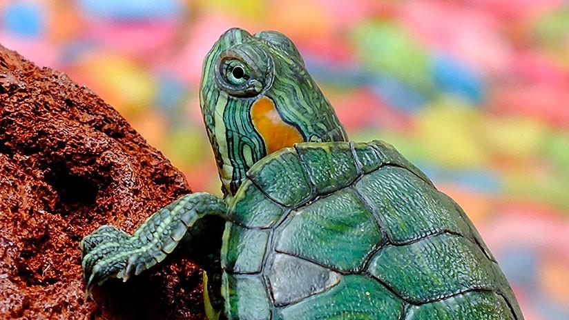 México: Descubren una especie de tortuga única en el mundo