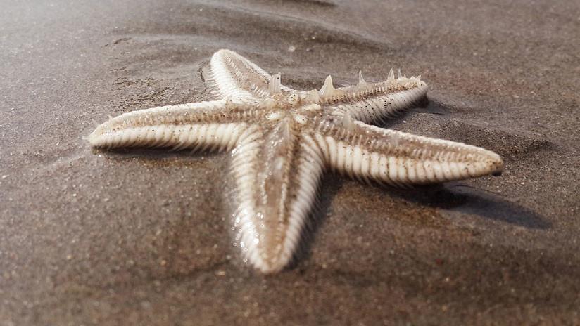 Hallan el fósil más antiguo de una estrella de mar en Cuba