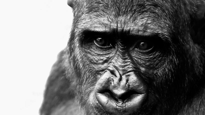 Descubren el secreto genético que nos hizo humanos