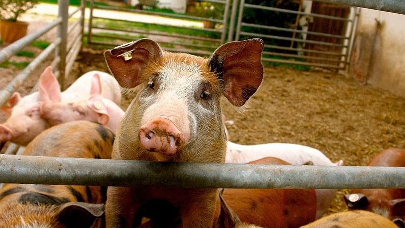 FOTO: Una avioneta aterriza de emergencia en una autopista e impacta contra un remolque con cerdos
