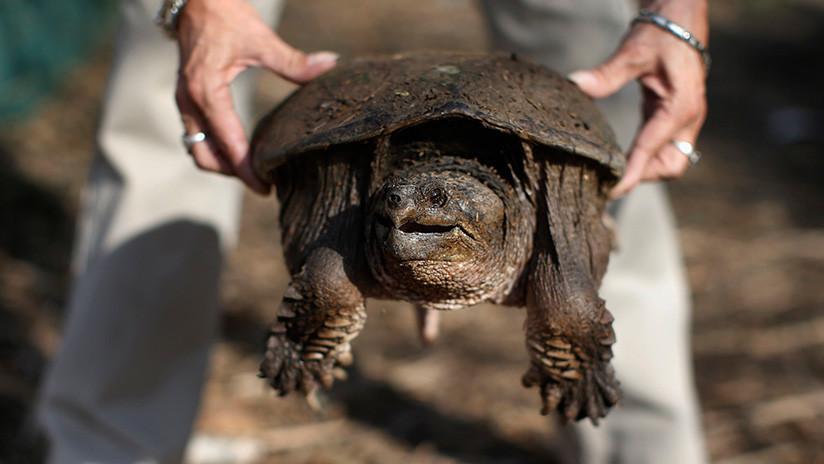 Acusan a un profesor de alimentar a una tortuga mordedora con un cachorro en EE.UU.