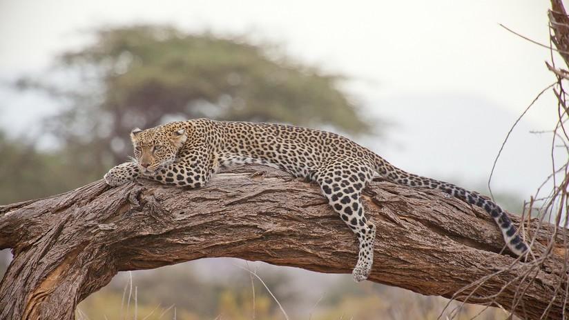 VIDEO: Hallan a un leopardo atrapado en un pozo y lo salvan con ingenio