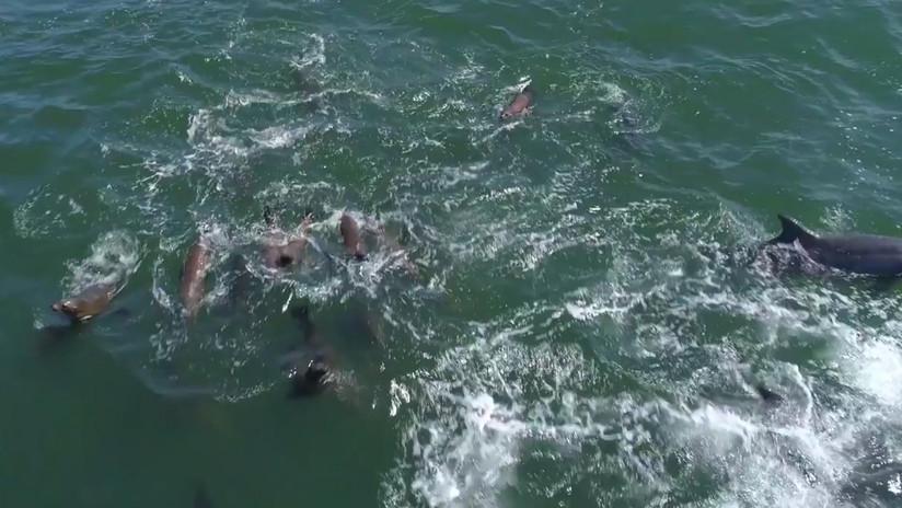VIDEO: Un dron capta a 1.500 delfines jugando con dos ballenas jorobadas en California