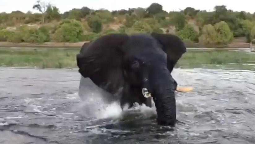 VIDEO: Un elefante encolerizado arremete contra un bote de turistas durante un safari