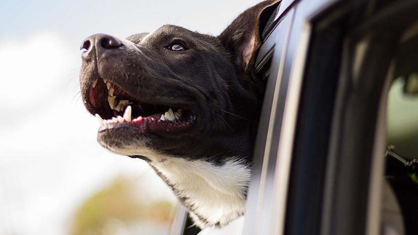 FUERTE VIDEO: Un perro se arroja desde una camioneta que viaja a más de 100 km/h
