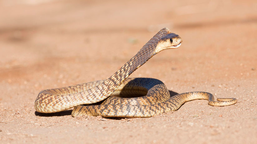 VIDEO: El combate a muerte de dos cobras escupidoras
