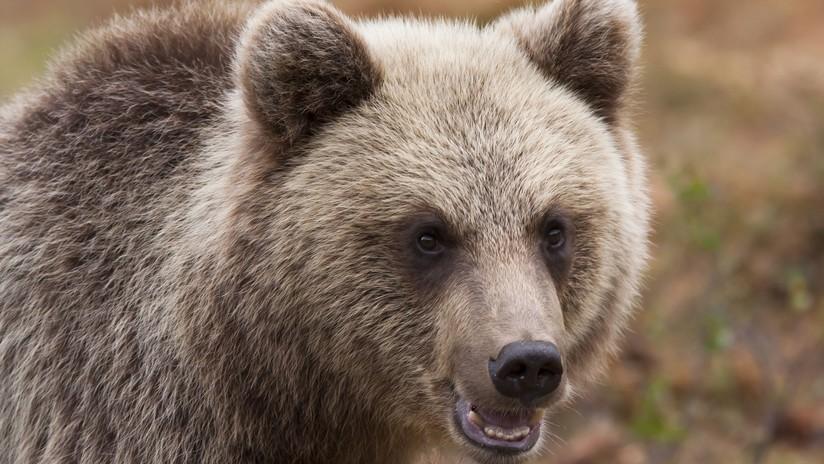 """""""¿Tienen allí algo para comer?"""": Un curioso oso 'inspecciona' un coche patrulla en Rusia (VIDEO)"""