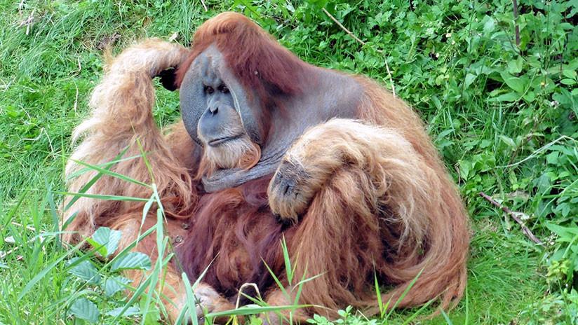 VIDEO: El trágico momento en que un orangután lucha contra una excavadora para salvar su bosque