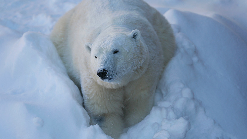 VIDEO: Un oso polar se atasca en la ventana de un almacén tras comer chocolate