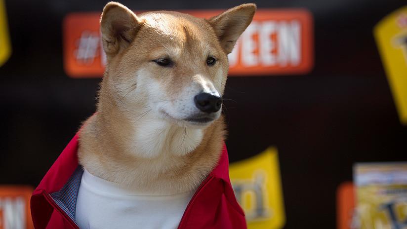 FOTOS, VIDEO: Tres perros Shiba Inu que se asoman tras un muro causan un boom turístico en Japón