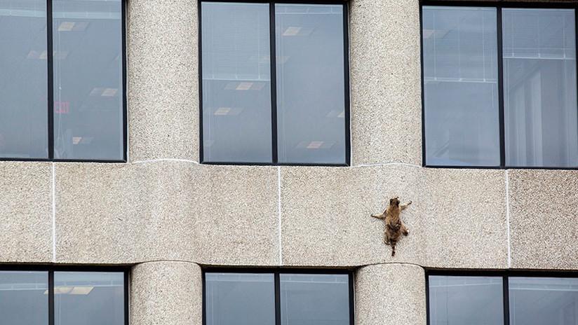 FOTOS: Un mapache trepa 23 pisos de un rascacielos en EE.UU. y se convierte en tendencia mundial