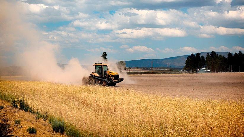 """Encuentran un trigo transgénico de Monsanto no aprobado en un """"sitio aislado"""" en Canadá"""