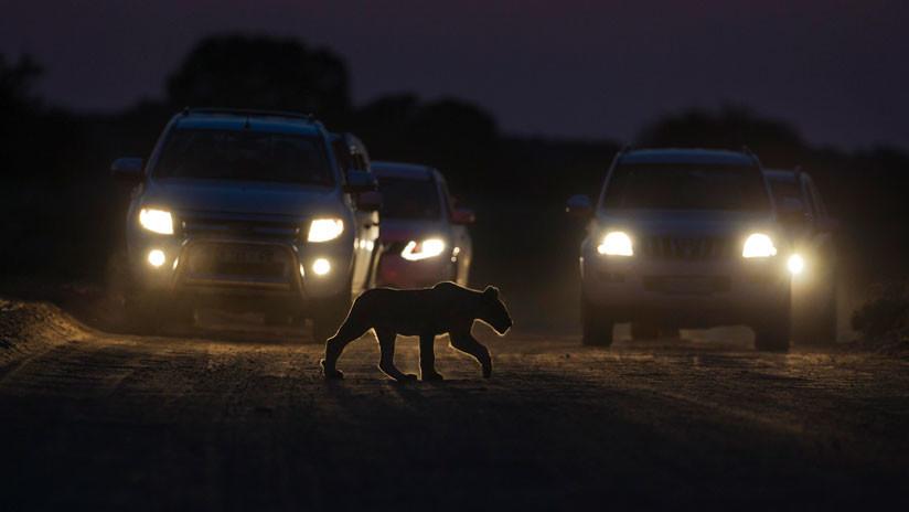 El miedo a los humanos obliga a los animales a vivir de noche