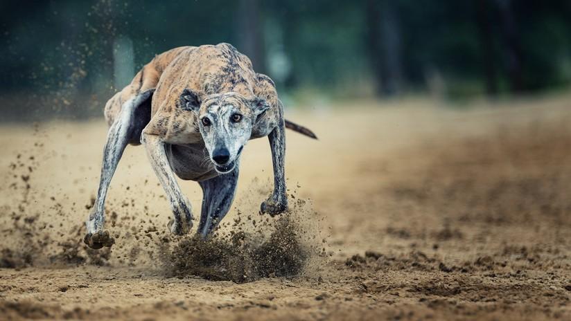 Un galgo gana una carrera con un tiempo extraordinario y descubren que fue drogado con cocaína