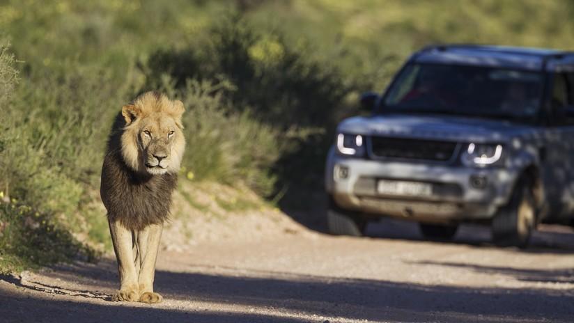 """""""Podría haberle arrancado el brazo o matarlo"""": Un turista acaricia a un león y se arrepiente (VIDEO)"""