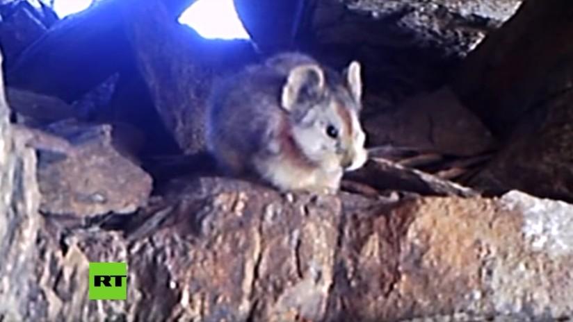 VIDEO: Graban por primera vez a un ejemplar de 'conejo mágico' ili pika en China
