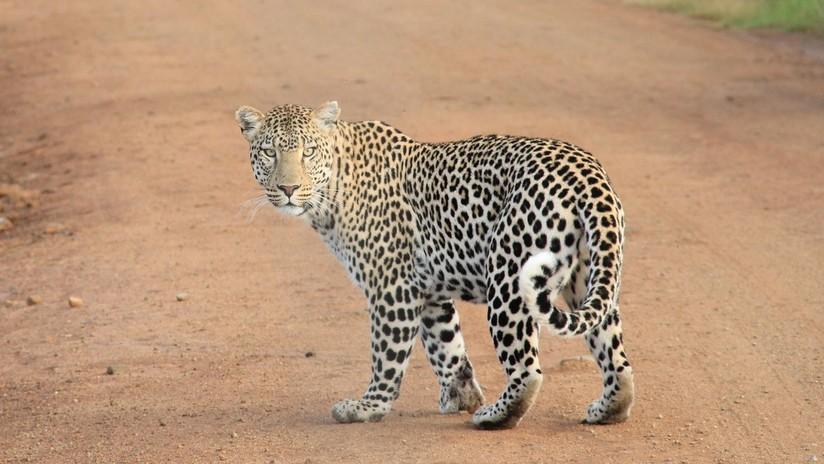 VIDEO: Captan un combate a muerte entre un cachorro de leopardo y un varano