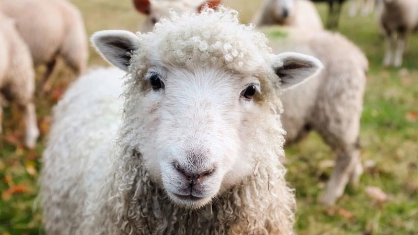 VIDEO: Una genial oveja abre una puerta con la boca
